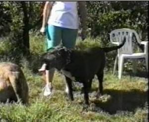 KUNTA KINTE de Alacant Bull