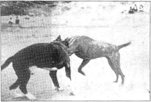 La pelea fue la base primordial de selección del perro de presa. Las capas negras estaban presentes desde los años cuarenta.