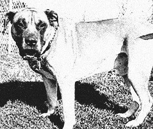 Maltese-Mastiff-1955
