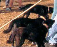 Perros Majoreros en una apanada