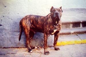perro de presa12