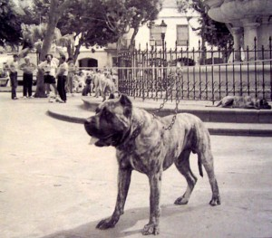 perro de presa19