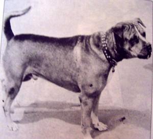 perro de presa39