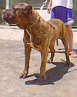 perro de presa canario 489