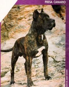 perro de presa canario 6248 rocote 146
