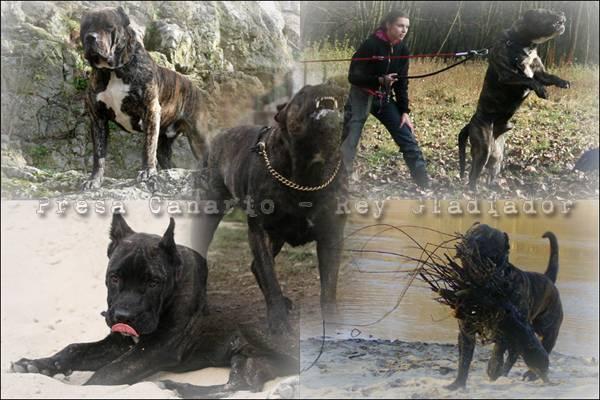 Presa Canario to żywiołowy, pełen temperamentu pies.