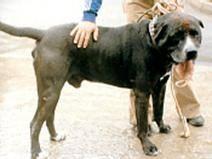 Tinto urodzony w Vecindario (Gran Canaria). W rękach Demetrio Trujillo stał się słynny jako wojownik na początku lat 80-tych.