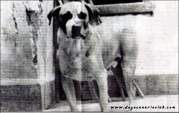 dorosły perro de presa canario z przeszłości o imieniu Domingo, zdjęcie pochodzi z początków lat 70-tych.