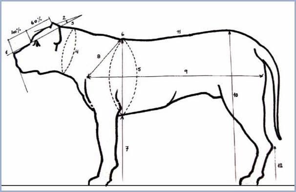 1 przedłużenie linii pyska  2 przedłużenie linii czaszki  3 kąt między czaszką a kufą  4 Szyja cylindryczna  5 obwód klatki piersiowej równy jest wysokości w kłębie plus 45%  6 kłąb  7 długość przedramienia do łokcia stanowi 50 % wysokości w kłębie  8 długość pleców  9 Długość tułowia równa jest wysokości w kłębie plus 18% - 20%  10 wysokość zadu  11 linia górna jest prosta, lekko wznosząca się w kierunku zadu  12 wysokość pęciny.