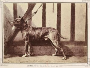 Dogue de Bordeaux, Paris 1863