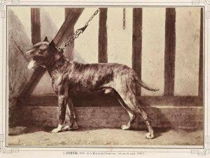 Dogue de Bordeaux, Paris 1863