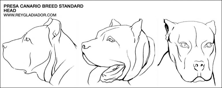 Read more about the article Breed standard: Presa Canario head