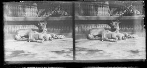Female with puppies dated between 1900-1920