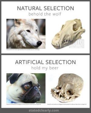 Natural selection vs artificial selection