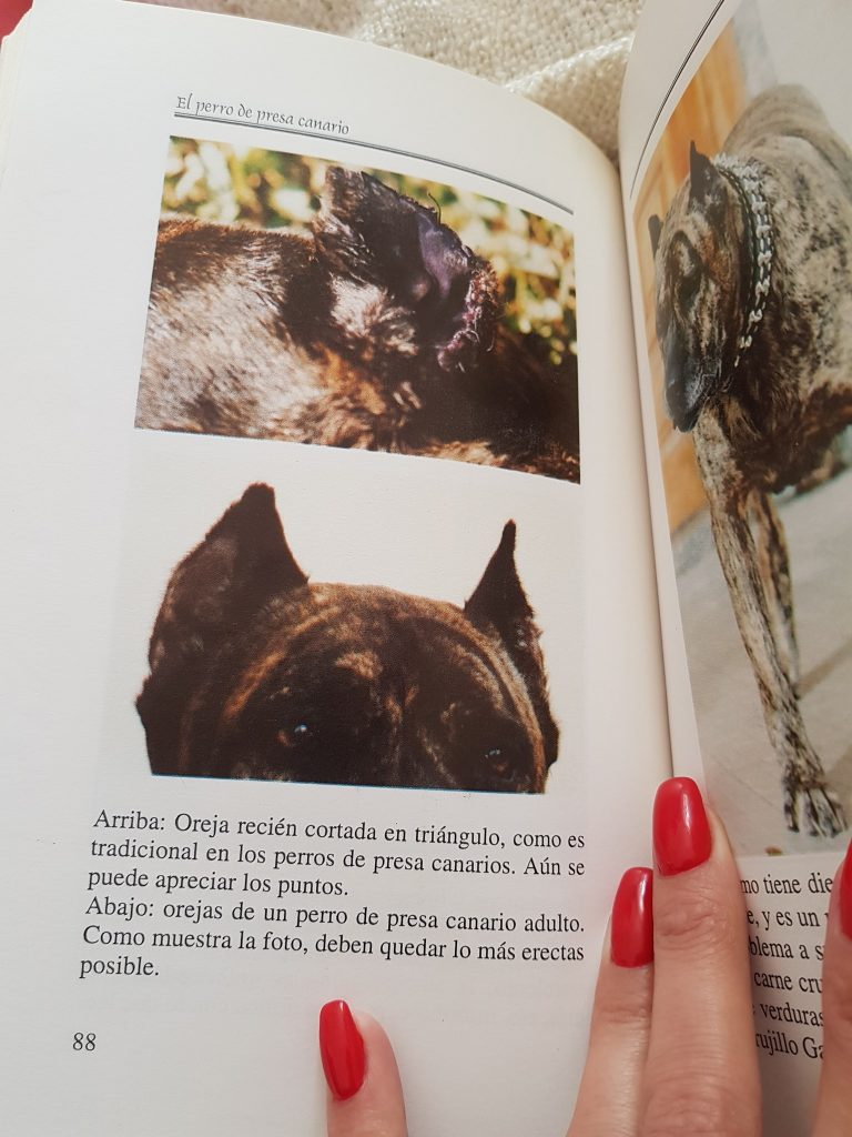 Read more about the article Ear crop in Presa Canario