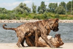 Presa Canario and dog fights