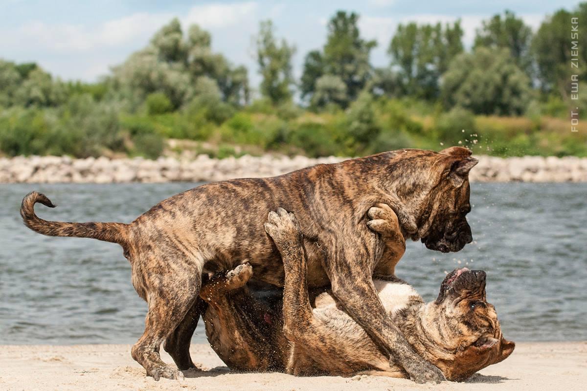 Presa Canario and dog fights