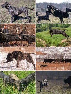 The ultimate dog – Presa Canario