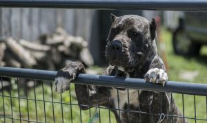 GUARD INSTINCT IN THE PERRO DE PRESA CANARIO