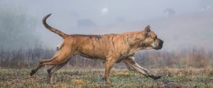 Read more about the article Are Presa Canarios a healthy breed?