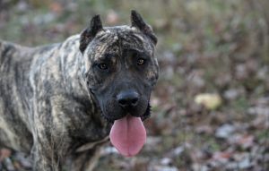 What is the size of Presa Canario