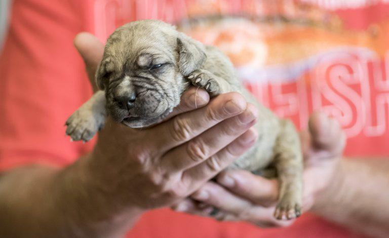 Read more about the article Growth chart for Presa Canario puppy