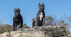 How to exercise your Presa Canario puppy