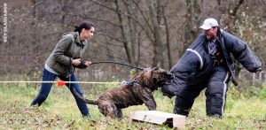 Famous Working Presa Canario