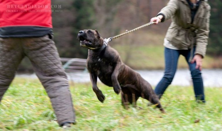 Read more about the article Rey Gladiador working dogs from the past