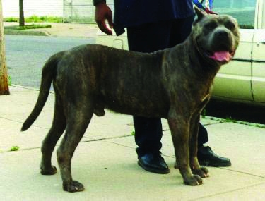Read more about the article Origins of American Presa Canario part 1