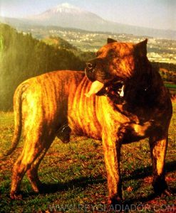 Presa Canario breeding standard explained by Manuel Martin Bethencourt