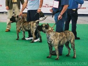 The Presa Canario of today (1990s)