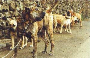 Rebuilding and recovery of the breed (Recria y recuperacion de la raza)